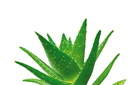Ambiance Aloe Vera 3 © Forever Living Products